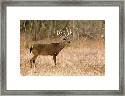 Majestic Buck Framed Print by Timothy McIntyre