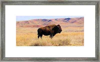 Majestic Buffalo In Kansas Framed Print