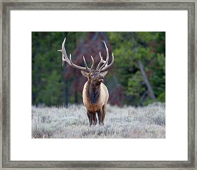 Majestic Bull Elk Framed Print by Jack Bell