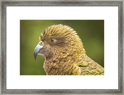 Kea Portrait Framed Print