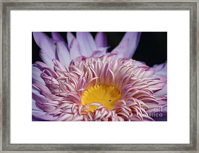 Majestic Foxfire Water Lily...   # Framed Print