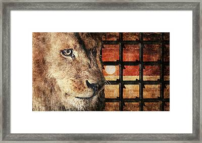 Majestic Lion In Captivity Framed Print