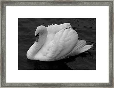 Majestic Mute Swan Framed Print by Pierre Leclerc Photography