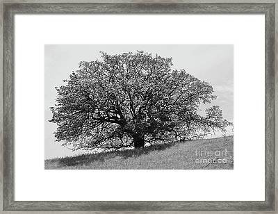 Majestic Oak Framed Print
