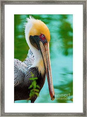 Majestic Pelican 48 Framed Print