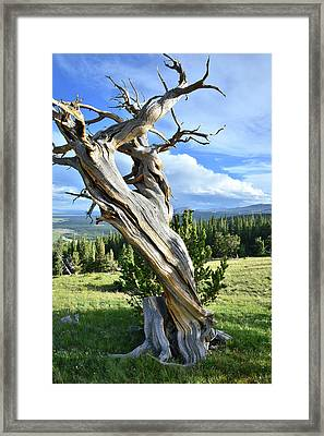 Majestic Pine Framed Print by Ray Mathis