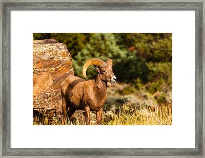 Majestic Ram Framed Print