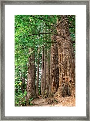 Majestic Redwoods Framed Print
