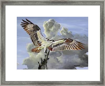 Majestic Sea Hawk Framed Print by Phyllis Beiser