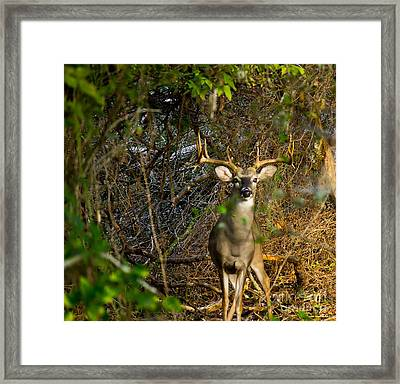 Majestic Whitetail Framed Print