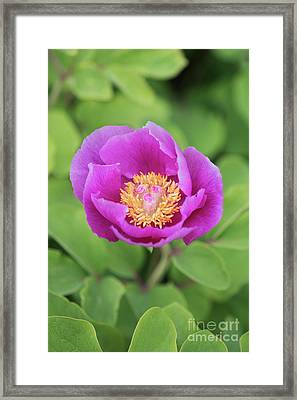 Majorcan Peony Framed Print by Tim Gainey