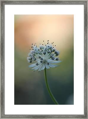 Botanica .. Make A Wish  Framed Print