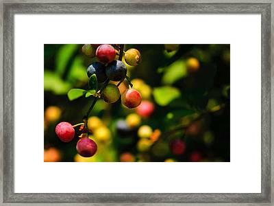Making Blueberries Framed Print