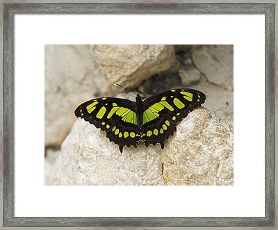 Framed Print featuring the photograph Malachite Butterfly - Siproeta Stelenes by Paul Gulliver
