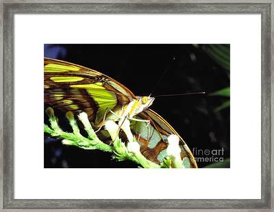 Malachite Butterfly Framed Print by Thomas R Fletcher