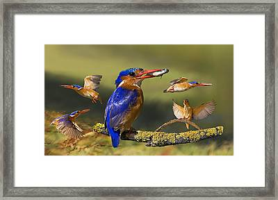 Malachite Kingfisher Collage Framed Print by Basie Van Zyl