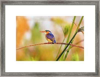 Malachite Kingfisher Hunting Framed Print