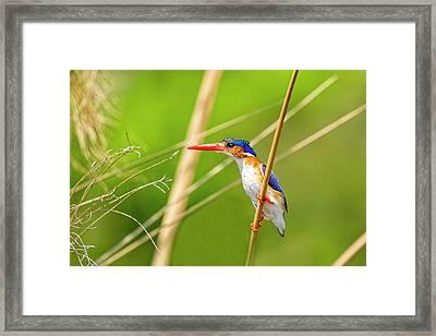 Malalchite Kingfisher Framed Print