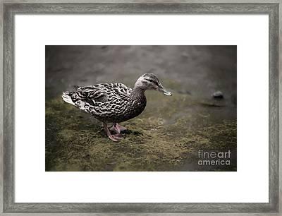 Malard,duckling Framed Print
