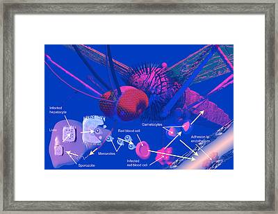 Malaria Cycle Framed Print by Carol and Mike Werner