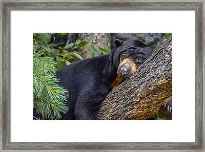 Malayan Sun Bear Framed Print by Brian Stevens