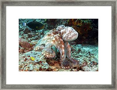 Malaysia, Octopus Framed Print by Dave Fleetham - Printscapes