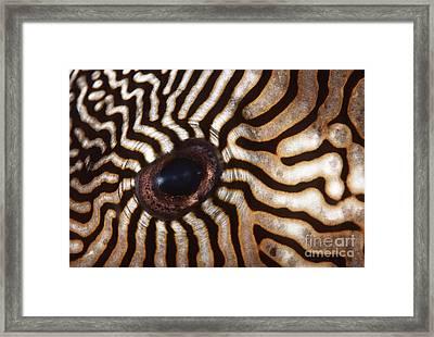 Malaysia Pufferish Eye Framed Print by Ed Robinson - Printscapes