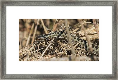 Male Adder Framed Print