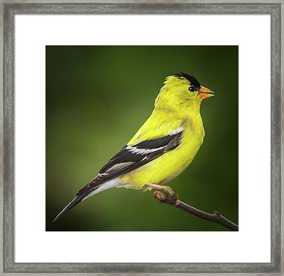 Male American Golden Finch On Twig Framed Print