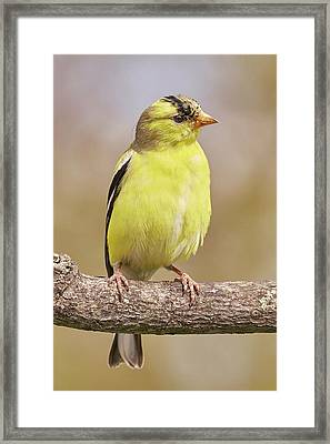 Male American Goldfinch In Early Spring Framed Print