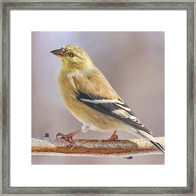 Male American Goldfinch In Winter Framed Print by Jim Hughes
