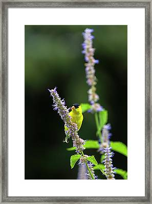 Framed Print featuring the photograph Male American Goldfinch by Juergen Roth
