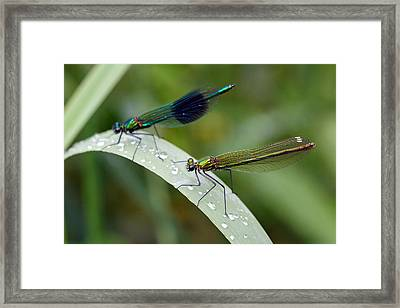 Male And Female Damsel Fly Framed Print by Pierre Leclerc Photography