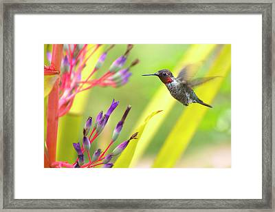 Male Anna's Hummingbird Framed Print by Mike Herdering