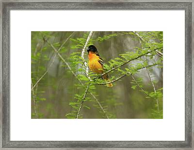 Male Baltimore Oriole Framed Print by David Yunker