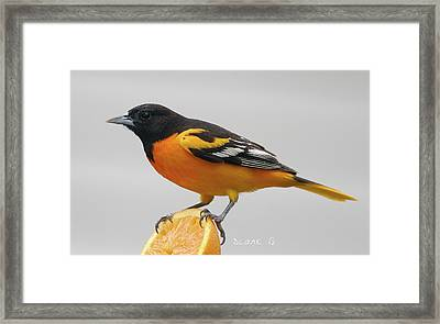 Male Baltimore Oriole Framed Print