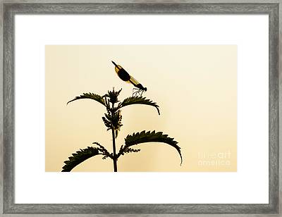 Male Banded Demoiselle At Sunset Framed Print