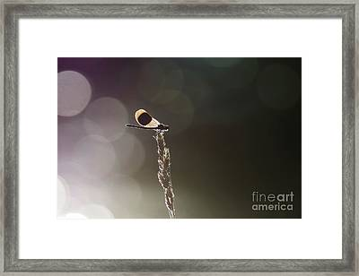 Male Banded Demoiselle Damselfly - Calopteryx Splendens - Perched  Framed Print