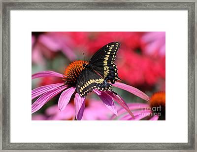 Male Black Swallowtail Butterfly On Echinacea Plant Framed Print by Karen Adams