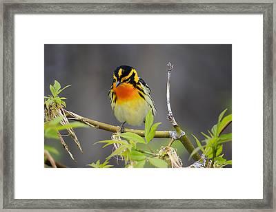 Male Blackburnian Warbler Framed Print