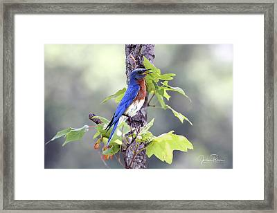 Male Bluebird Framed Print
