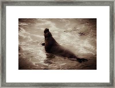 Male Bull Elephant Seal Framed Print