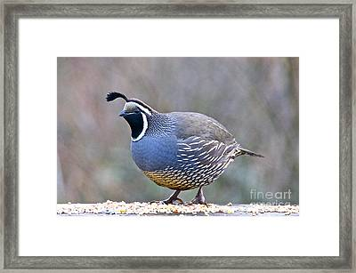 Male California Quail Framed Print