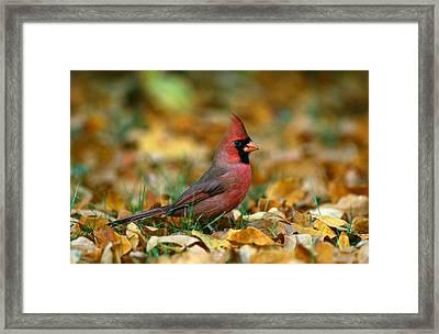 Male Cardinal Cardinalis Cardinalis Framed Print