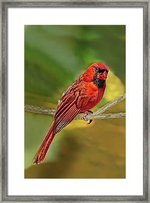 Male Cardinal Headshot  Framed Print