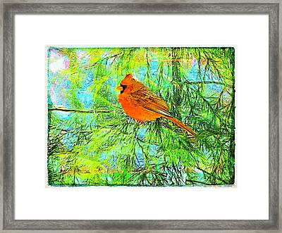 Male Cardinal In Juniper Tree Framed Print