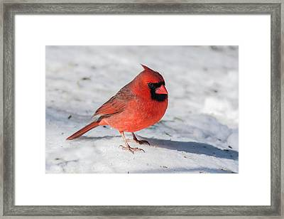 Male Cardinal In Winter Framed Print by Kenneth Cole