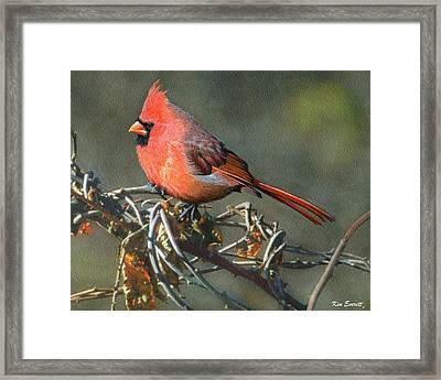 Male Cardinal Framed Print by Ken Everett