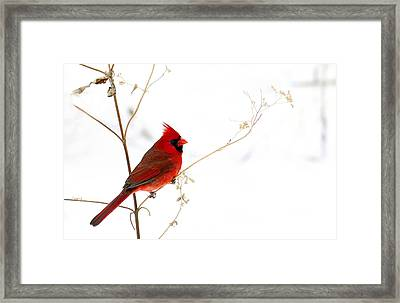 Male Cardinal Posing In The Snow Framed Print by Randall Branham