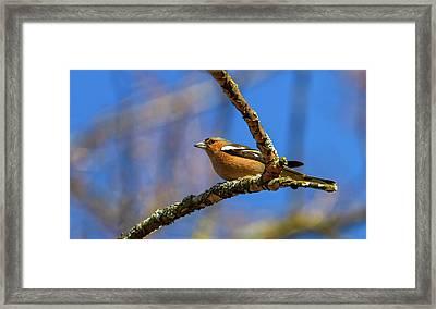 Male Common Chaffinch Bird, Fringilla Coelebs Framed Print by Elenarts - Elena Duvernay photo